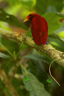 King Bird of Paradise (Cicinnurus regius) male, New Guinea
