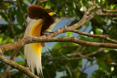 Lesser Bird of Paradise (Paradisaea minor) male displaying high in the rainforest canopy at his display site, New Guinea