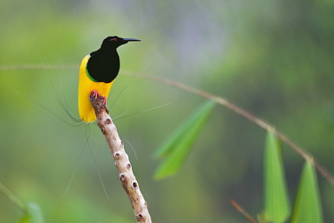 Twelve-wired Bird of Paradise (Seleucidis melanoleuca) male at his display pole in the swamp rain forest at Nimbokrang, Papau, Indonesia, Island of New Guinea.
