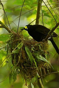 Long-tailed Paradigalla (Paradigalla carunculata) female at nest, Arfak Mountains, Vogelkop Peninsula, West Papua of Indonesia.