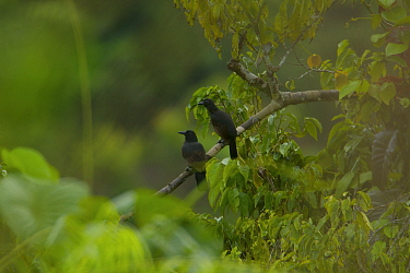 Paradise Crows (Lycocorax pyrrhopterus) perch in a tree in a rainforest clearing on Halmahera, Maluku Islands, Indonesia