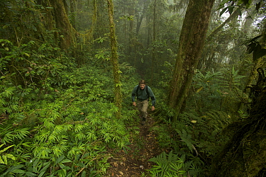 Montane rainforest at 2000 m elevation with photographer Tim Laman hiking. Arfak Mountains, New Guinea, August 2009.