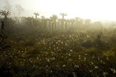 Tree Fern forest in mist, near Lake Habbema, Jayawijaya Mountains, New Guinea. June 2010