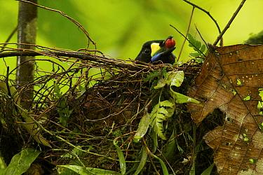 Long-tailed Paradigalla (Paradigalla carunculata) female at nest, with a regurgitated fruit, Arfak Mountains, Vogelkop Peninsula, West Papua of Indonesia.
