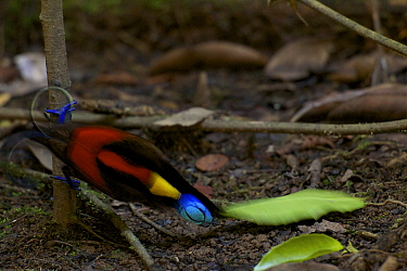 Wilson's Bird of Paradise (Cicinnurus respublica) adult male clearing leaves from his court. West Papua, New Guinea