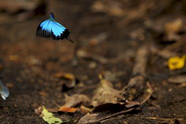 Mountain blue (Papilio ulysses) butterfly in flight, West Papua