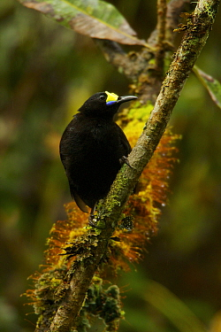 Short-tailed Paradigalla (Paradigalla brevicauda) male, Papua New Guinea