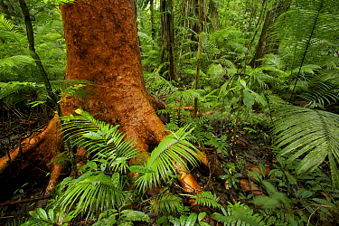 Rainforest interior at Fergusson Island with red barked tree and palms, with large strangler fig in background. Papua New Guinea