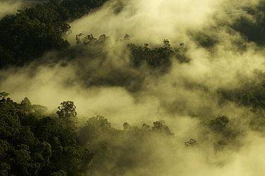 Early morning mist hangs in the canopy in lowland rainforest in the foothills of the Saruwaged Range, Huon Peninsula, Papua New Guinea