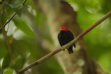 Adult male Red-capped Manakin (Pipra mentalis) at his display perch. Soberana National Park, Gamboa, Panama, December.