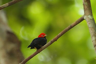 Adult male Red-capped Manakin (Pipra mentalis) at his display perch. Soberania National Park, Gamboa, Panama, December.