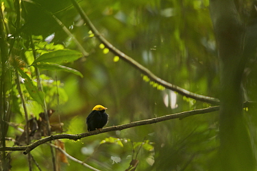 Adult male Golden-headed Manakin (Pipra erythrocephala) perched in the canopy. Tiputini Biodiversity Station, Amazon Rainforest, Ecuador, January.