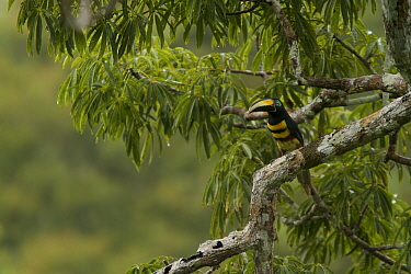 Many-banded Aracari (Pteroglossus pluricinctus) in a Ceiba pentandra tree. Tiputini Biodiversity Station, Amazon Rainforest, Ecuador, January.