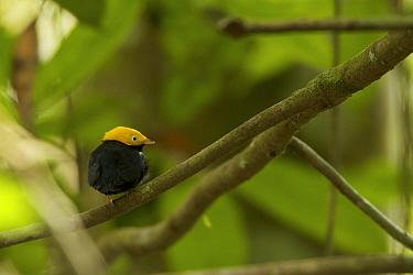 Male Golden-headed Manakin (Pipra erythrocephala) at a canopy perch. Tiputini Biodiversity Station, Amazon Rainforest, Ecuador, January.