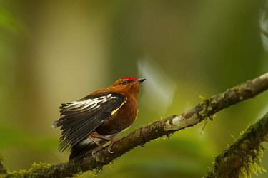 Club-winged Manakin (Machaeropterus deliciosus) endemic species. Milpe Cloudforest Reserve, Ecuador, January.