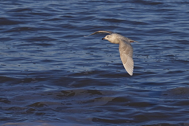 Iceland gull (Larus glaucoides) juvenile flying over water, Weybourne, Norfolk, UK. December.