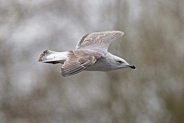 Yellow-legged gull (Larus michahellis) in flight, nile plumage still visible, Norwich, Norfolk, UK. December.