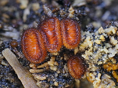 Eyelash fungus (Scutellinia scutellata) Group growing in crack on an old rotting Beech tree, Buckinghamshire, England, UK, December. Focus stacked.