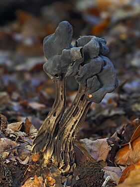 Elfin saddle fungus (Helvella lacunosa) growing on woodland floor, Buckinghamshire, England, UK, October. Focus stacked..
