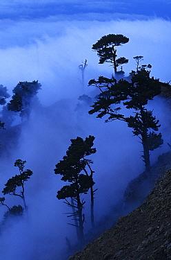 Guadalupe Island pine trees (Pinus radiata var. binata) in fog, Guadalupe Island Biosphere Reserve, off the coast of Baja California, Mexico, February