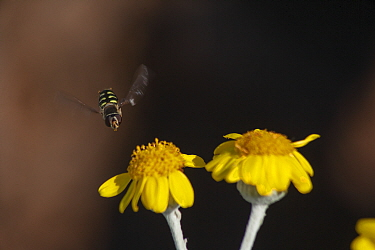 Hoverfly (Syrphidae) flying towards a Guadalupe Island white sage (Senecio palmeri) flower, Guadalupe Island Biosphere Reserve, off the coast of Baja California, Mexico, March