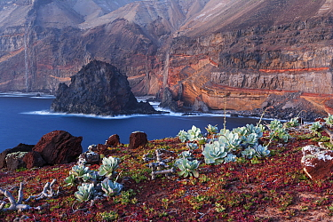 Guadalupe cistanthe (Cistanthe guadalupensis) succulent, Negro Islet with main island in background, Guadalupe Island Biosphere Reserve, off the coast of Baja California, Mexico, March