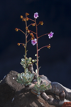 Guadalupe cistanthe (Cistanthe guadalupensis) succulent, with flower, Negro Islet, Guadalupe Island Biosphere Reserve, off the coast of Baja California, Mexico, March