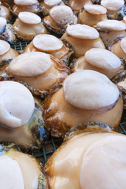 Green abalone (Haliotis fulgens) ready to be exported from island, Guadalupe Island Biosphere Reserve, off the coast of Baja California, Mexico, April