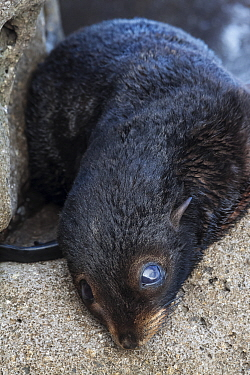 Guadalupe fur seal (Arctocephalus townsendi) pup, Guadalupe Island Biosphere Reserve, off the coast of Baja California, Mexico, September