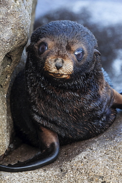 Guadalupe fur seal (Arctocephalus townsendi) pup, Guadalupe Island Biosphere Reserve, off the coast of Baja California, Mexico, September