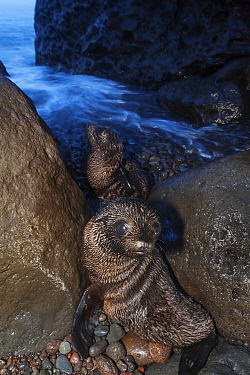 Guadalupe fur seal (Arctocephalus townsendi) pups, Guadalupe Island Biosphere Reserve, off the coast of Baja California, Mexico, September