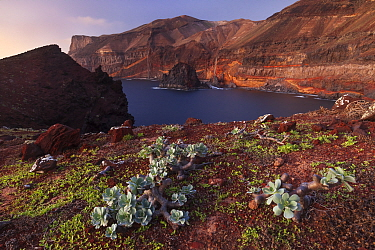 Guadalupe cistanthe (Cistanthe guadalupensis) succulent, Negro Islet with main island in the back, Guadalupe Island Biosphere Reserve, off the coast of Baja California, Mexico, September