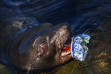 Guadalupe fur seal (Arctocephalus townsendi) pup with discarded metal can scrap attached to lower mandible, Guadalupe Island Biosphere Reserve, off the coast of Baja California, Mexico, April