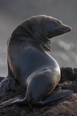 Guadalupe fur seal (Arctocephalus townsendi) male, Guadalupe Island Biosphere Reserve, off the coast of Baja California, Mexico, April