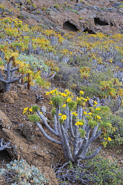 Giant coreopsis (coreopsis gigantea) inside the crater, Zapato Islet, Guadalupe Island Biosphere Reserve, off the coast of Baja California, Mexico, April