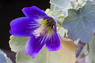Zapato Islet mallow (Lavatera lindsayi) flower, Zapato Islet, Guadalupe Island Biosphere Reserve, off the coast of Baja California, Mexico, April