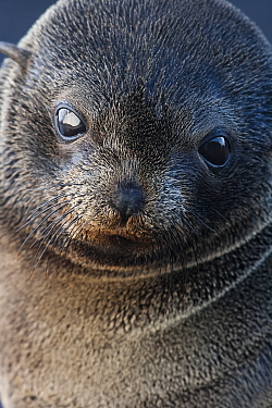 Guadalupe fur seal (Arctocephalus townsendi) pup, Guadalupe Island Biosphere Reserve, off the coast of Baja California, Mexico, March