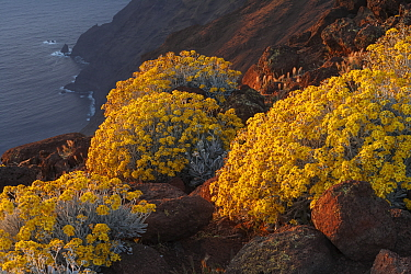 Guadalupe Island white sage (Senecio palmeri) blooming, overseeing the island's cliff, Guadalupe Island Biosphere Reserve, off the coast of Baja California, Mexico, April