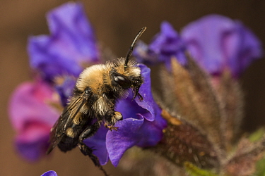 Mourning bee (Melecta albifrons) a kleptoparasite of the Hairy-footed flower bee (Anthophora plumipes), visiting Lungwort (Pulmonaria officinalis), native pollinator, Monmouthshire, Wales, UK, wild po...