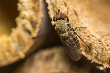 Houdini fly (Cacoexenus indagator) visiting a bee hotel. Kleptoparasite of Mason Bees. Monmouthshire, Wales, UK, May