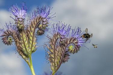 Early bumblebee (Bombus partorum), feeding on pollen from anthers, faces off with Smeathmans furrow bee (Lasioglossum smeathmanellum) harvesting Lacy phacelia (Phacelia tanacetifolia),, Monmouthshire,...