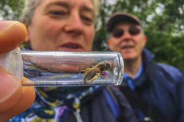 Woman looking at mining bee (Andrenidae) in container at Bug Life Bee ID Field class, Monmouthshire, Wales, UK, June.
