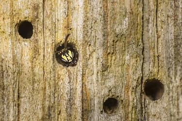 Yellow-faced bee (Hylaeus communis) nesting in Furniture woodworm beetle (Anobium punctatum) bore holes, Monmouthshire, Wales, UK, June.