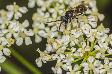 Hairy yellow-faced bee (Hylaeus hyalinatus) male bee feeding on Ground elder (Aegopodium podagraria) nectar, Monmouthshire, Wales, UK, July.