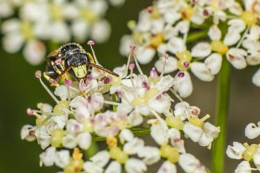 Little yellow-faced bee (Hylaeus pictipes) male bee feeding on Ground elder (Aegopodium podagraria) nectar, Monmouthshire, Wales, UK, July