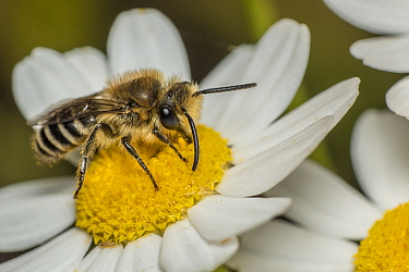 Ivy bee (Colletes hederae) feeding at Oxeye daisy (Leucanthemum vulgare) composite flower florettes, Monmouthshire, Wales, UK, July.