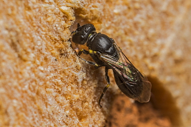 Little yellow-faced bee (Hylaeus pictipes), 3.5mm average size, one of the smallest bees in the UK, nesting in 1mm holes drilled in bee hotel, Monmouthshire, Wales, UK, July.