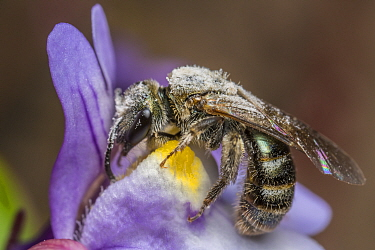 Smeathmans furrow bee (Lasioglossum smeathmanellum) harvesting Pennywort (Cymbalaria muralis) pollen. This flower employs the 'Stroke pollen placement' method of pollen dispersal, painting vis...