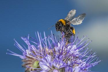 Buff-tailed bumblebee (Bombus terrestris) harvesting Lacy Phacelia (Phacelia tanacetifolia), Monmouthshire, Wales, UK, May.