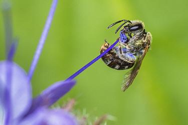 Smeathmans Furrow Bee (Lasioglossum smeathmanellum) harvesting Lacy Phacelia (Phacelia tanacetifolia), aka Blue Tansy, Purple Tansy, Monmouthshire, Wales, UK, native pollinator, May
